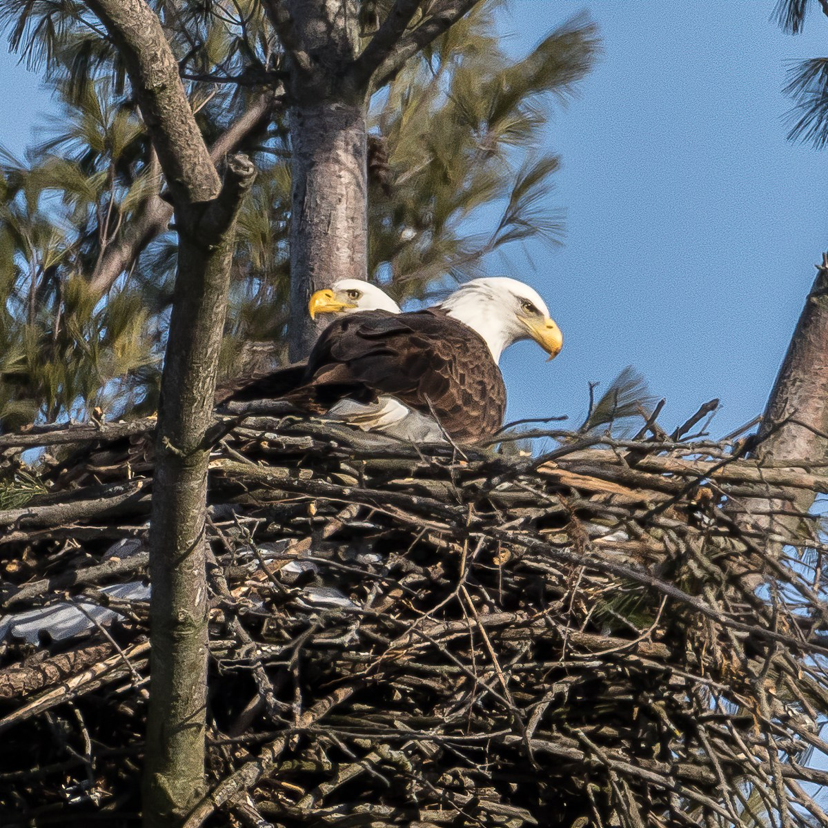 A pair of bald eagles sit in their nest