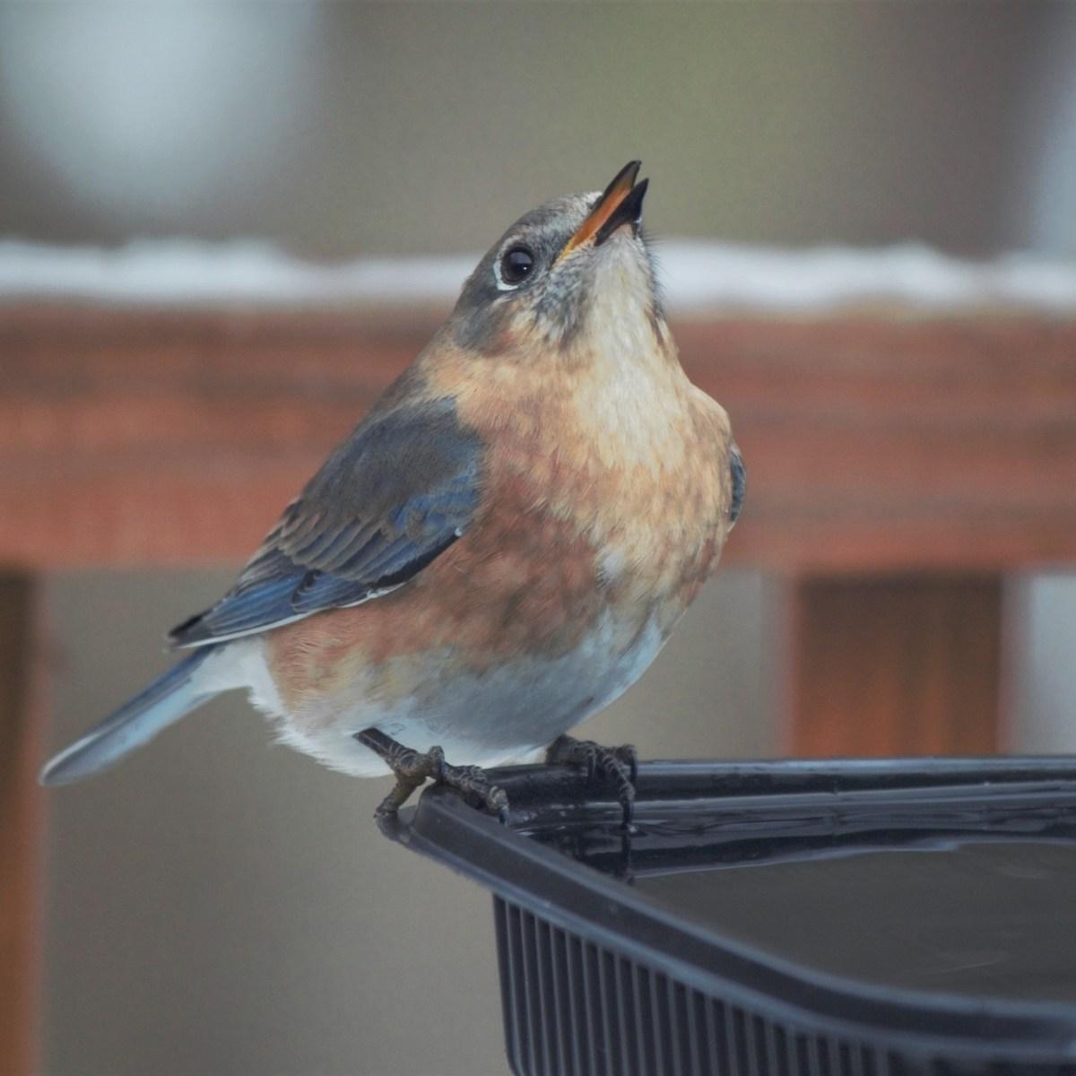 An Eastern Bluebird perched on a bird bath