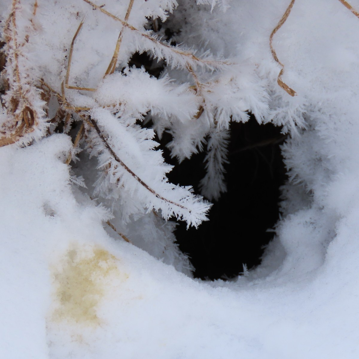 The frosted entrance of an animal den with a circle of urine next to the opening