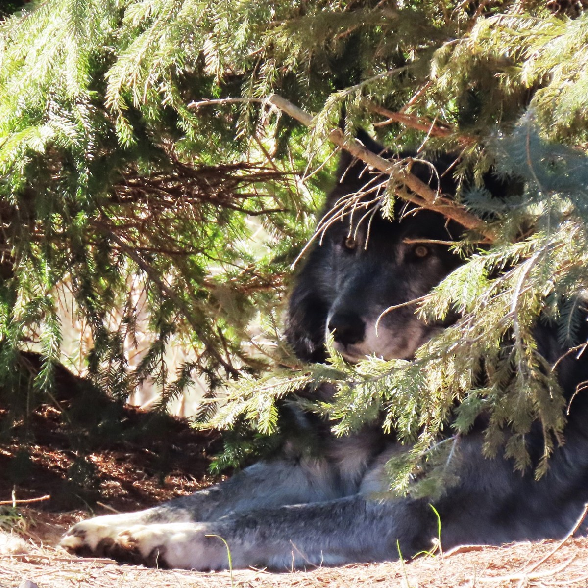 An almost hidden gray wolf looks out from where it lays under a pine tree