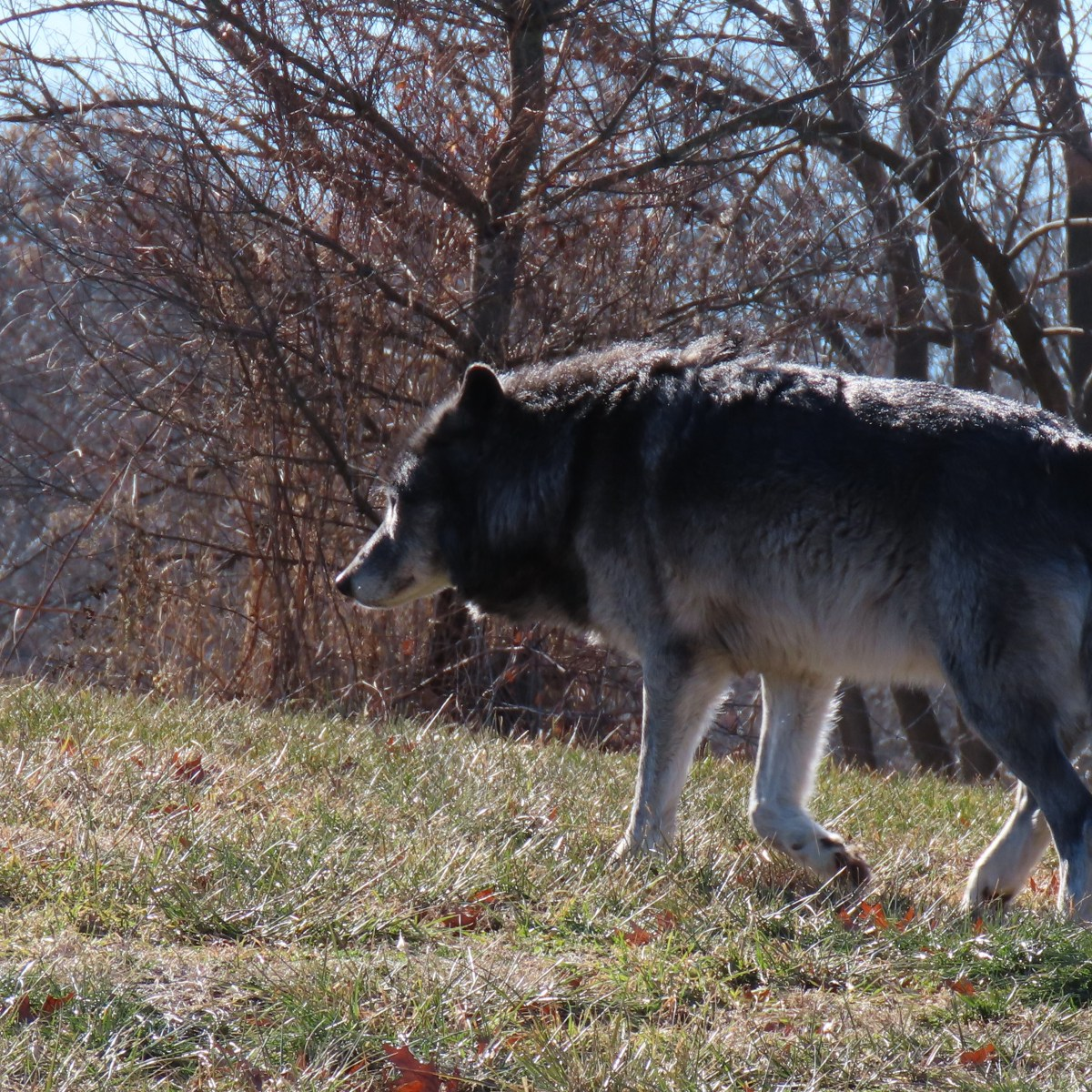 A gray wolf walks along a grassy area at the zoo