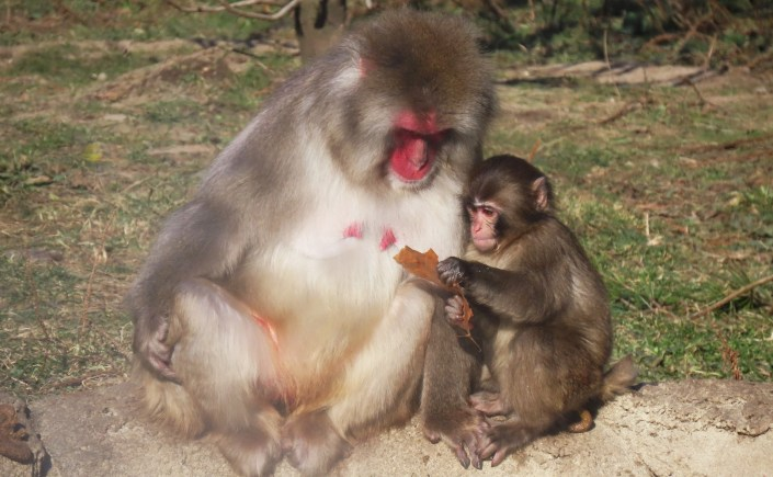 A young Japanese macaque monkey holds a leaf and studies it with its mother