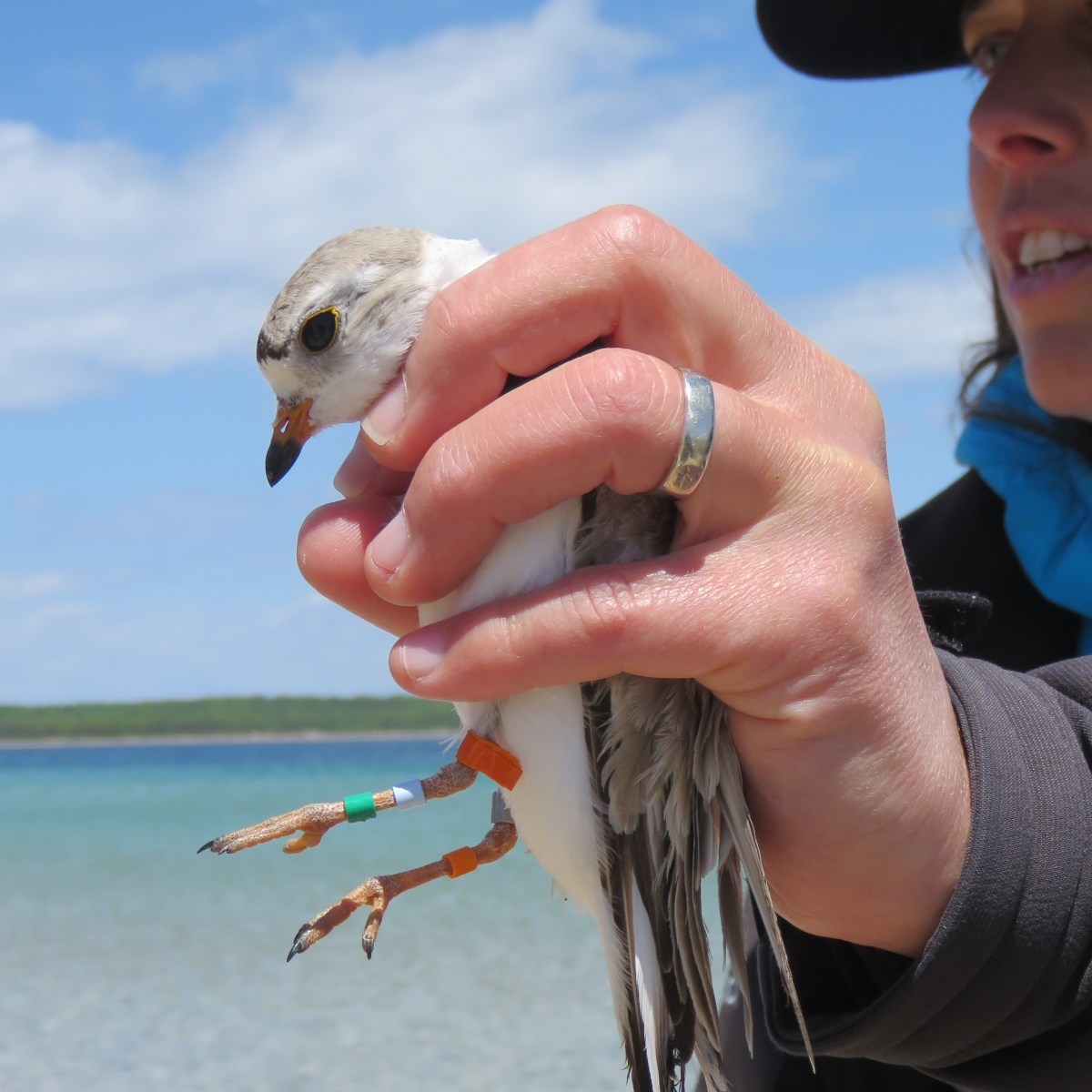 A woman holds a Piping Plover in her hand