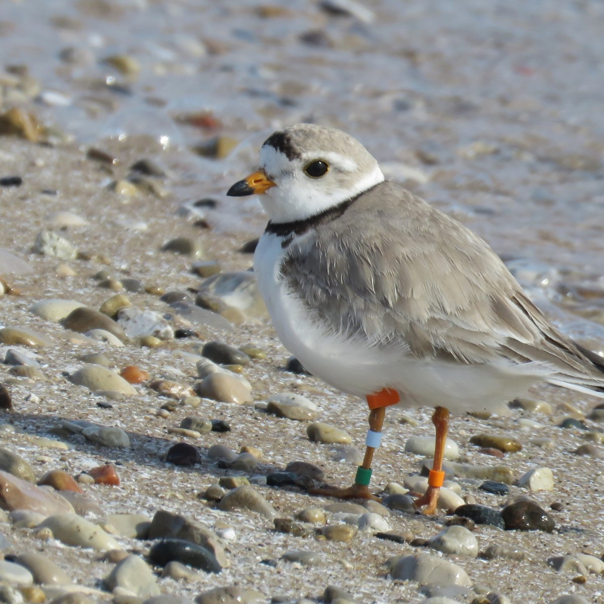 A Piping Plover stands on the rocky beach