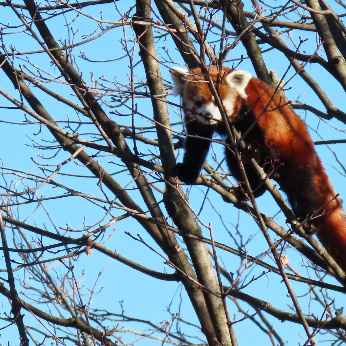 A red panda looks down from its perch in bare tree branches
