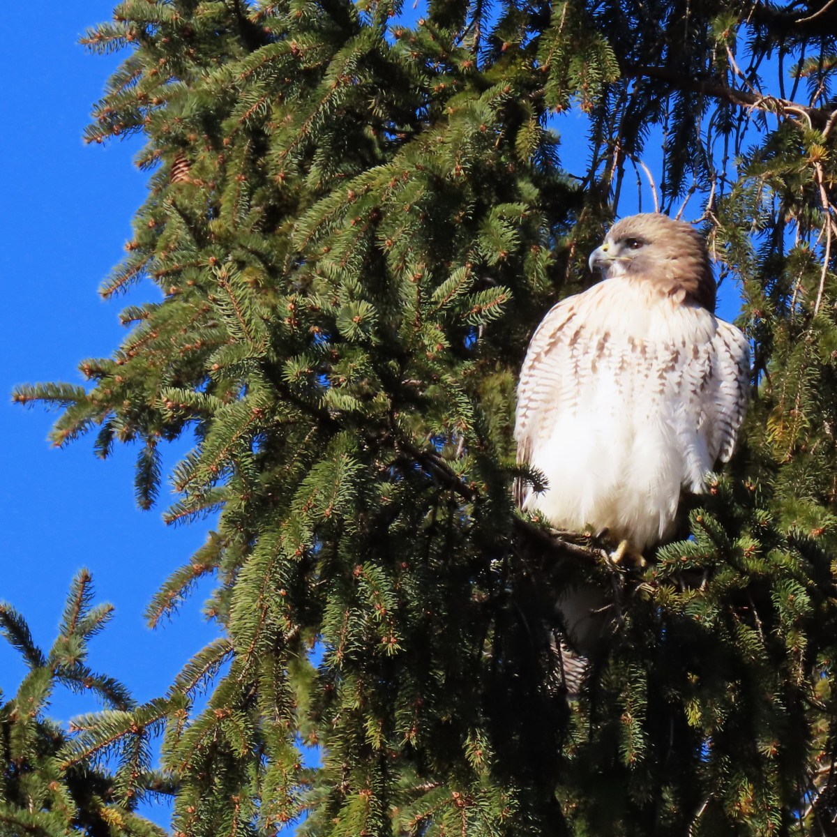 Red-tailed hawk perched in pine tree