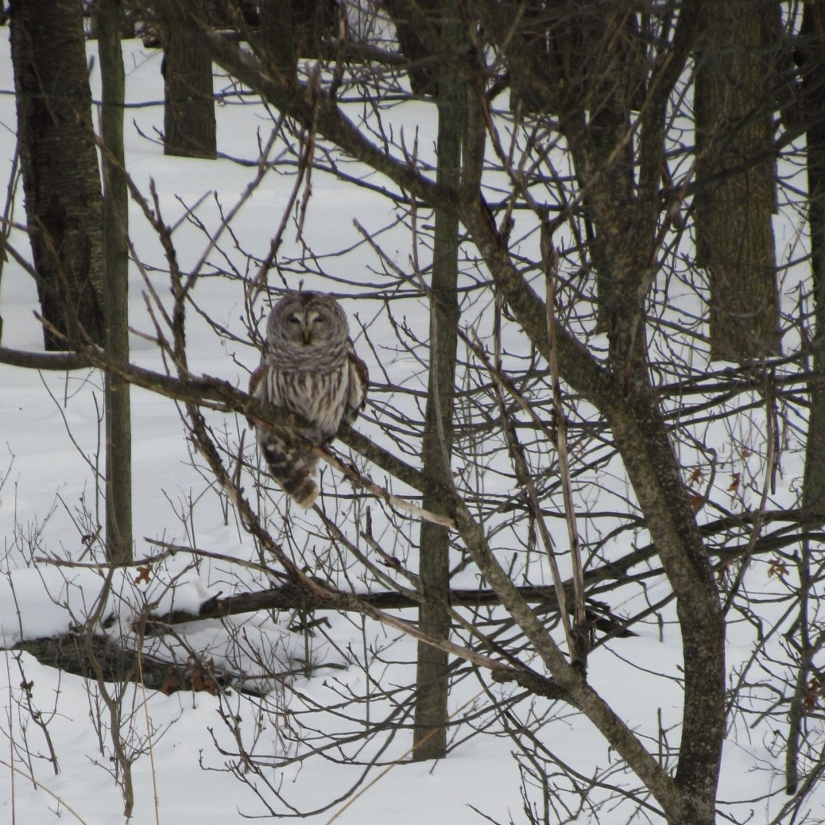 A Barred Owl at the edge of woods that are covered in snow