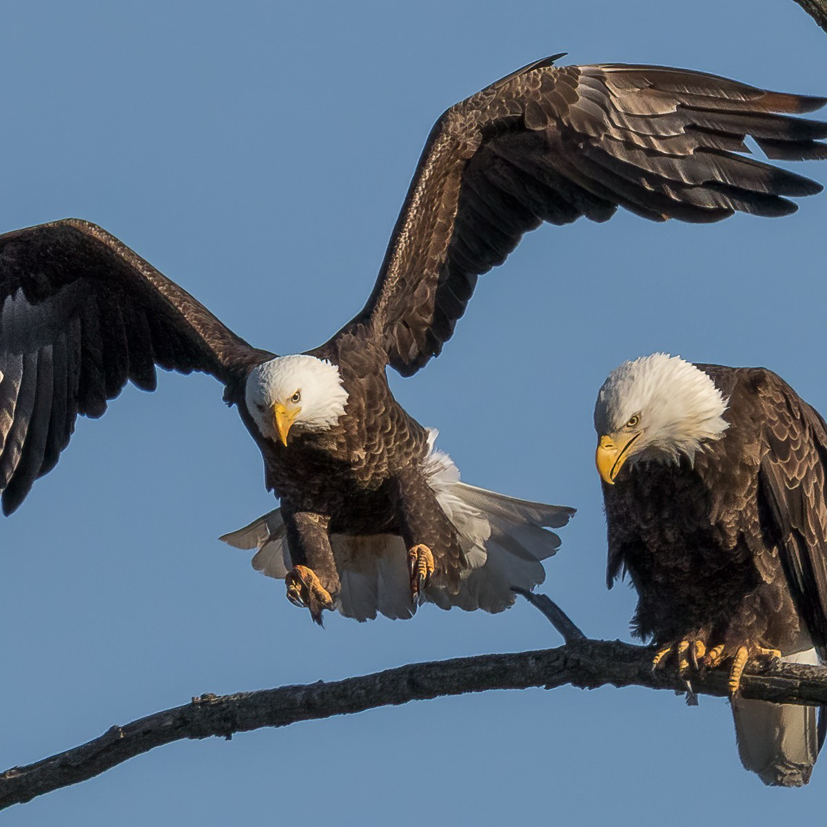A bald eagle perched on a branch while a second prepares to land next to it
