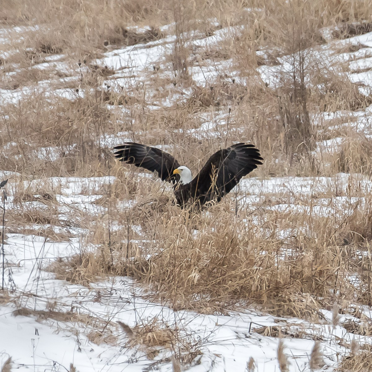 A bald eagles lands with wings outstretched in a snow-covered meadow