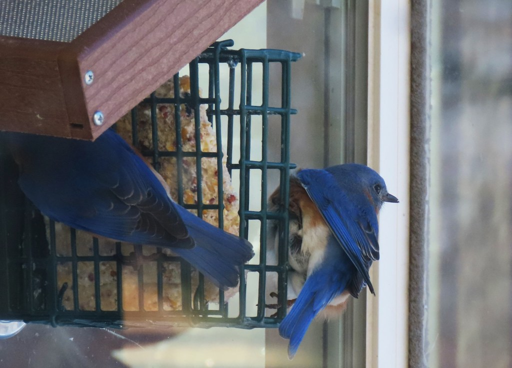 Two Eastern Bluebirds at a window bird feeder