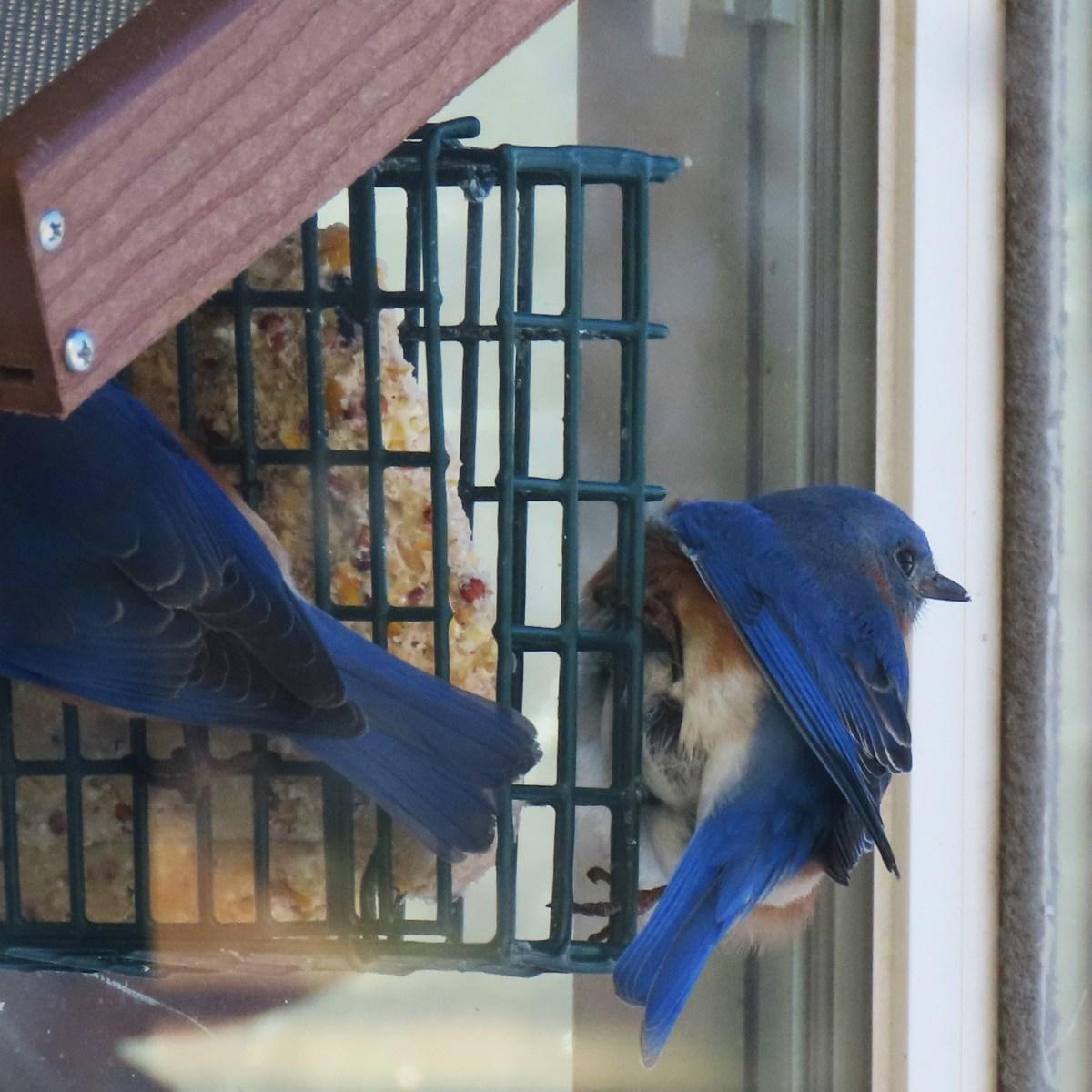 Two Eastern Bluebirds at a window bird feeder