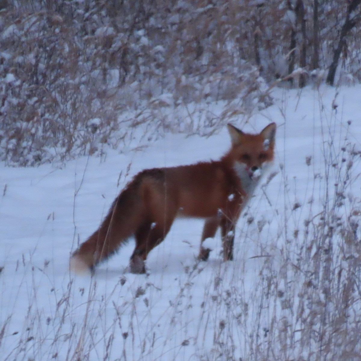 A fox stands in a snowy meadow