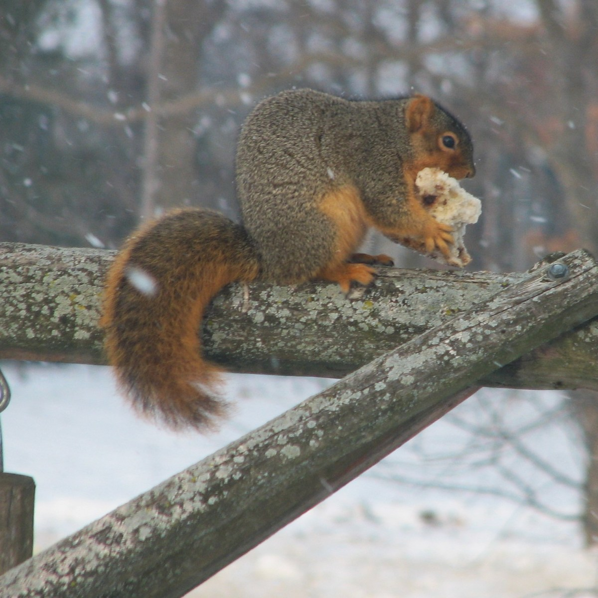 A fox squirrel stands on a log platform eating bread as snow falls around it