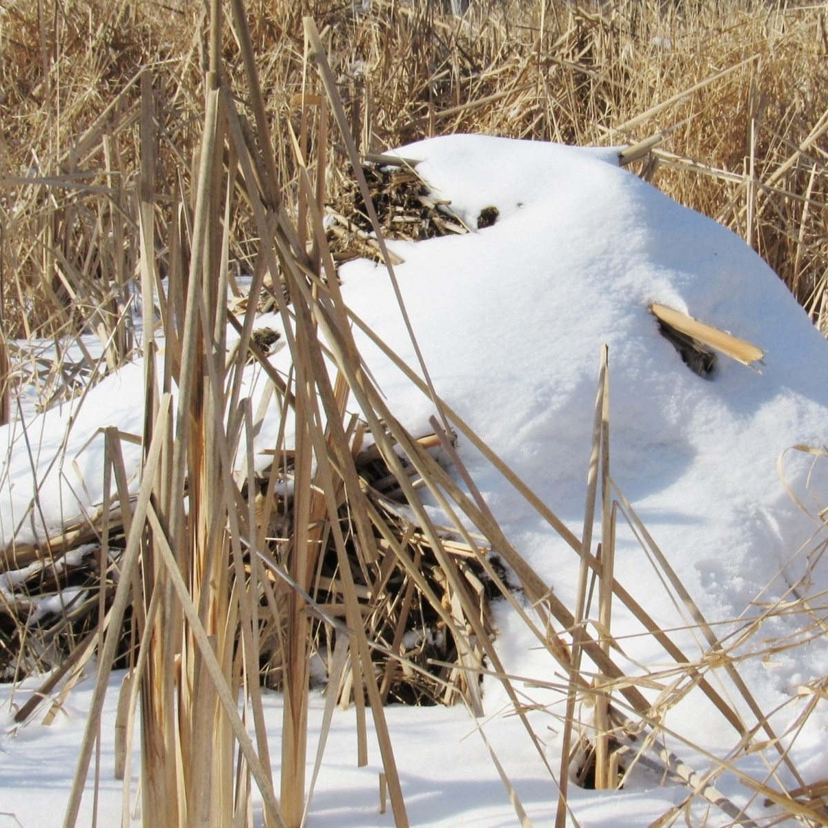 A snow-covered muskrat lodge
