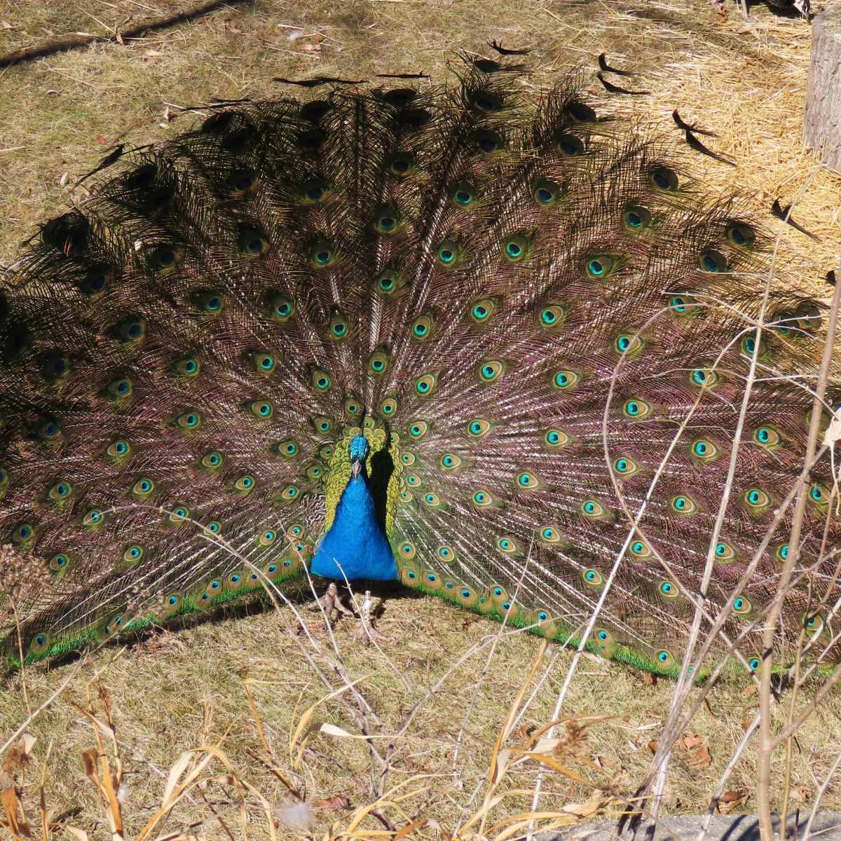 A peacock with its wings spread