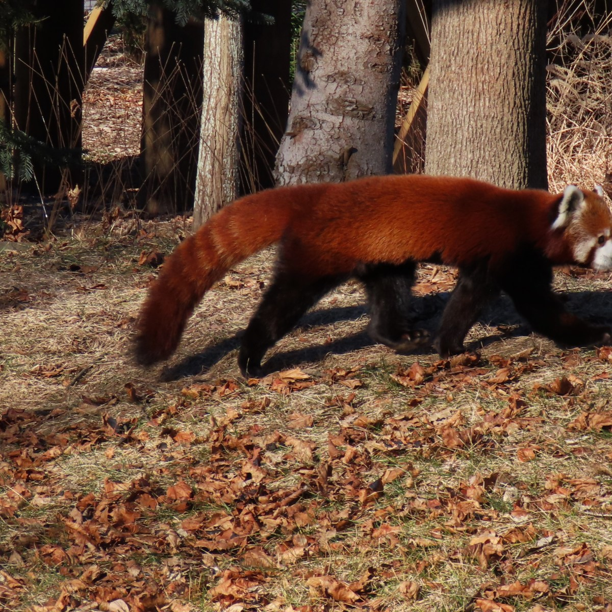 A red panda walks along a grassy area with trees