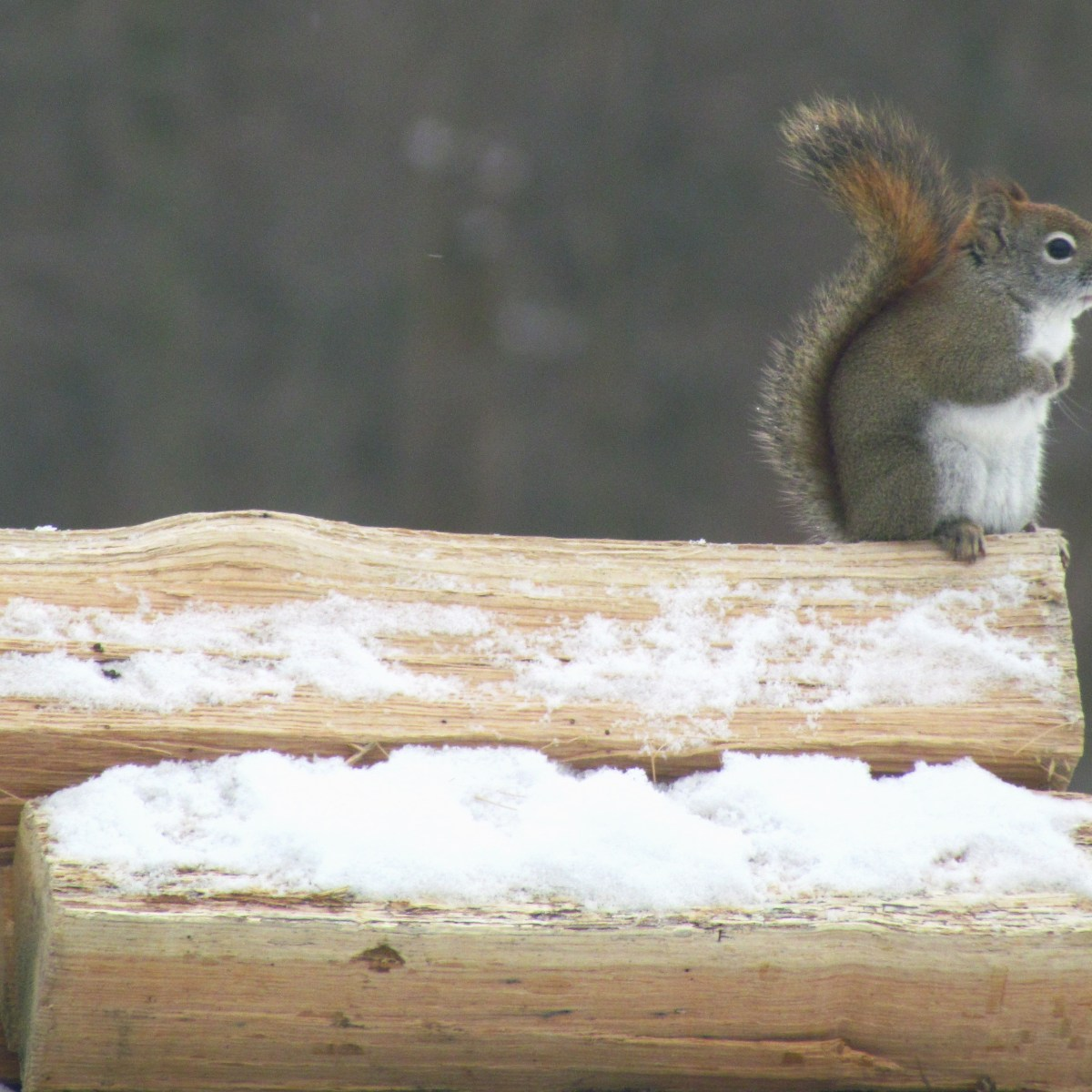 A red squirrel stands on a snow-covered log.