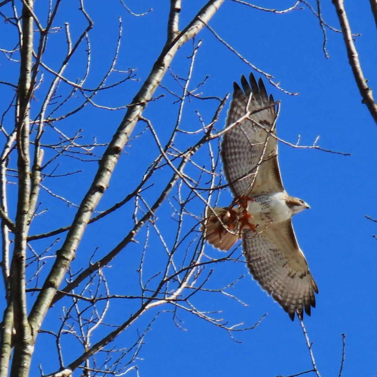 A Red-tailed Hawk soars above a tree, across a bright-blue sky