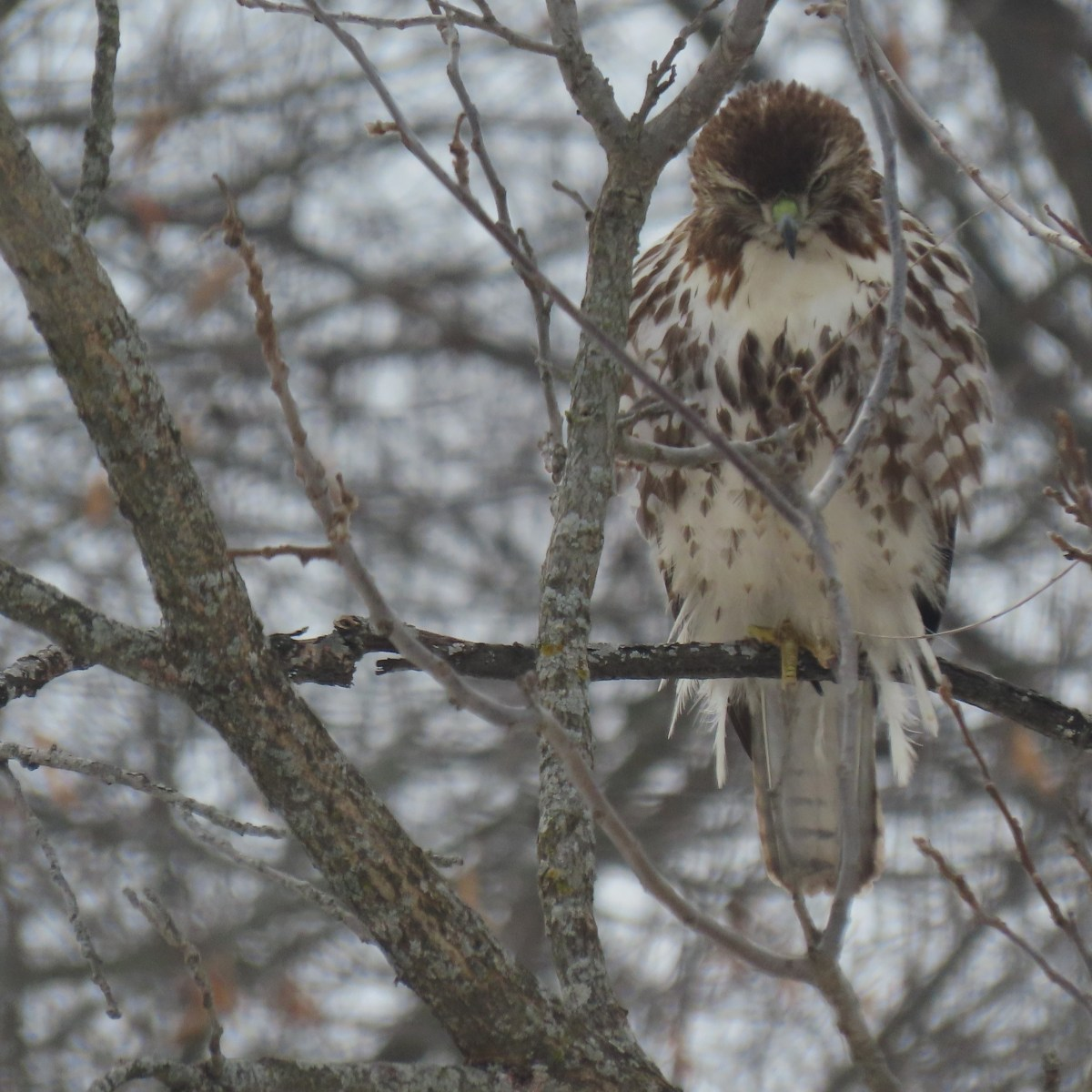 A Red-tailed Hawk looks down while perched on a branch in winter
