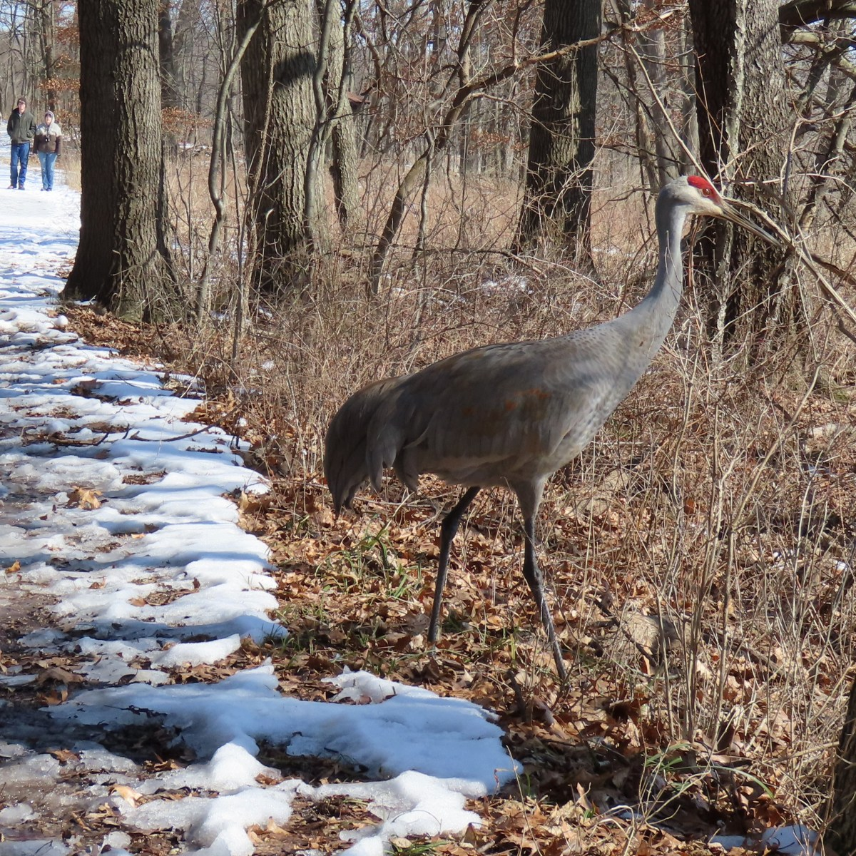 A Sandhill Crane walks across a snowy trail while four people watch from a distance