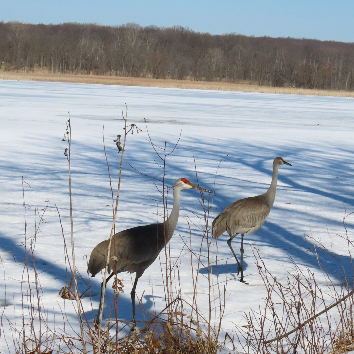 Two Sandhill Cranes walk on a frozen lake