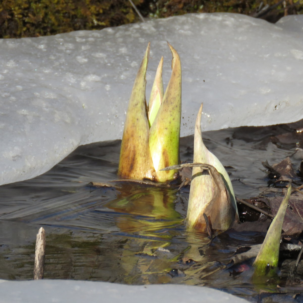 Skunk cabbage pushes up through ice