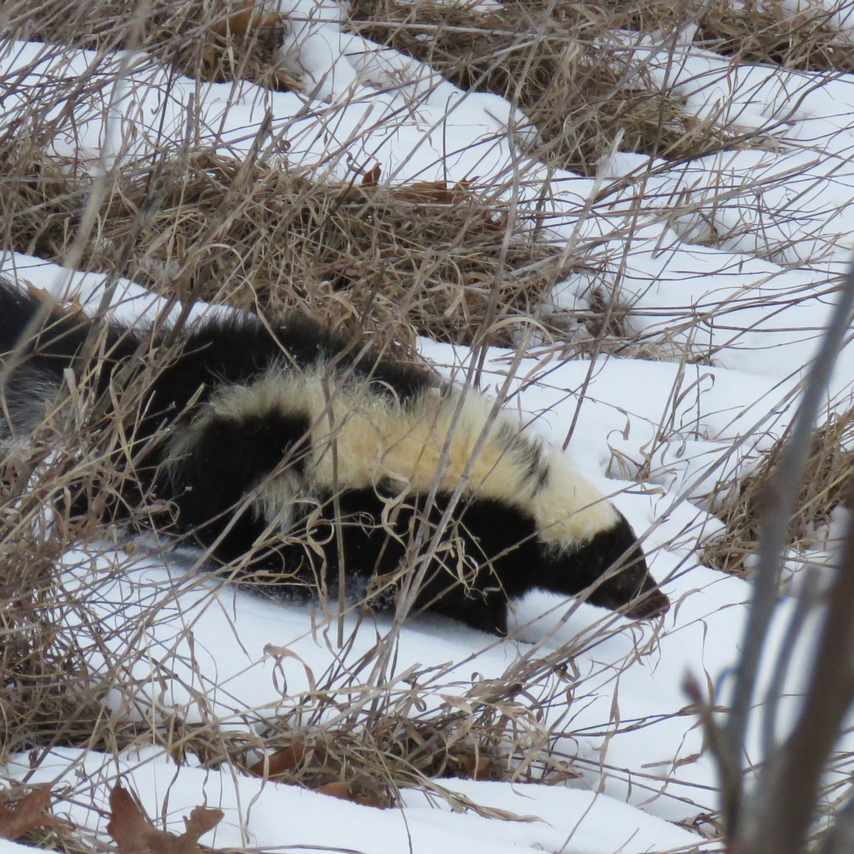 A skunk runs downhill through the snow and vegetation