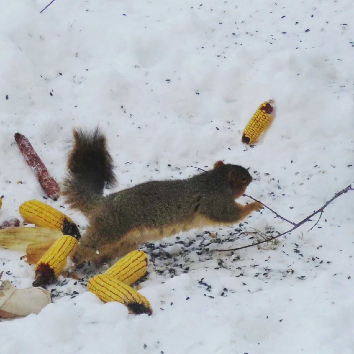 Two squirrels squabble near bird seed and ears of corn in the snow