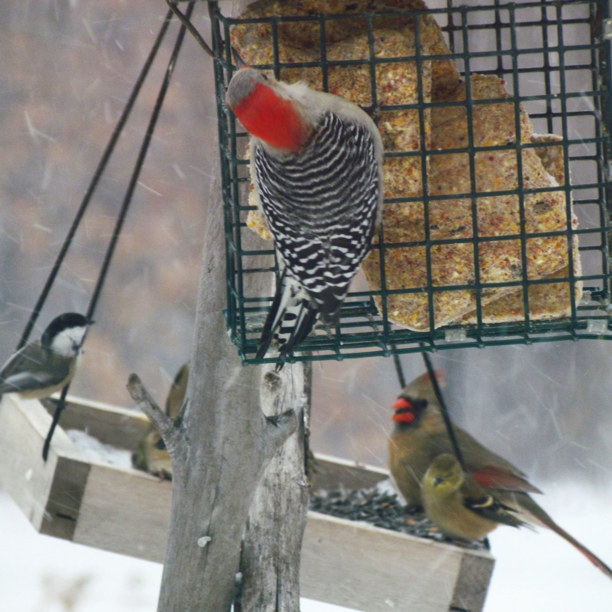Birds at bird feeder as snow falls