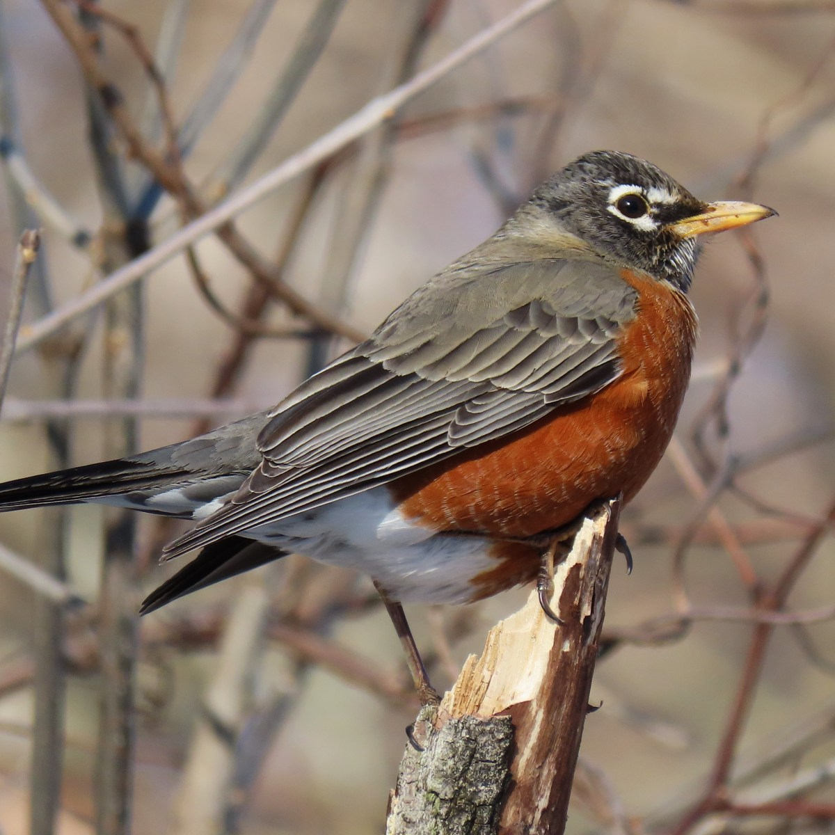 A close up side view of a Robin perched on the edge of a broken branch