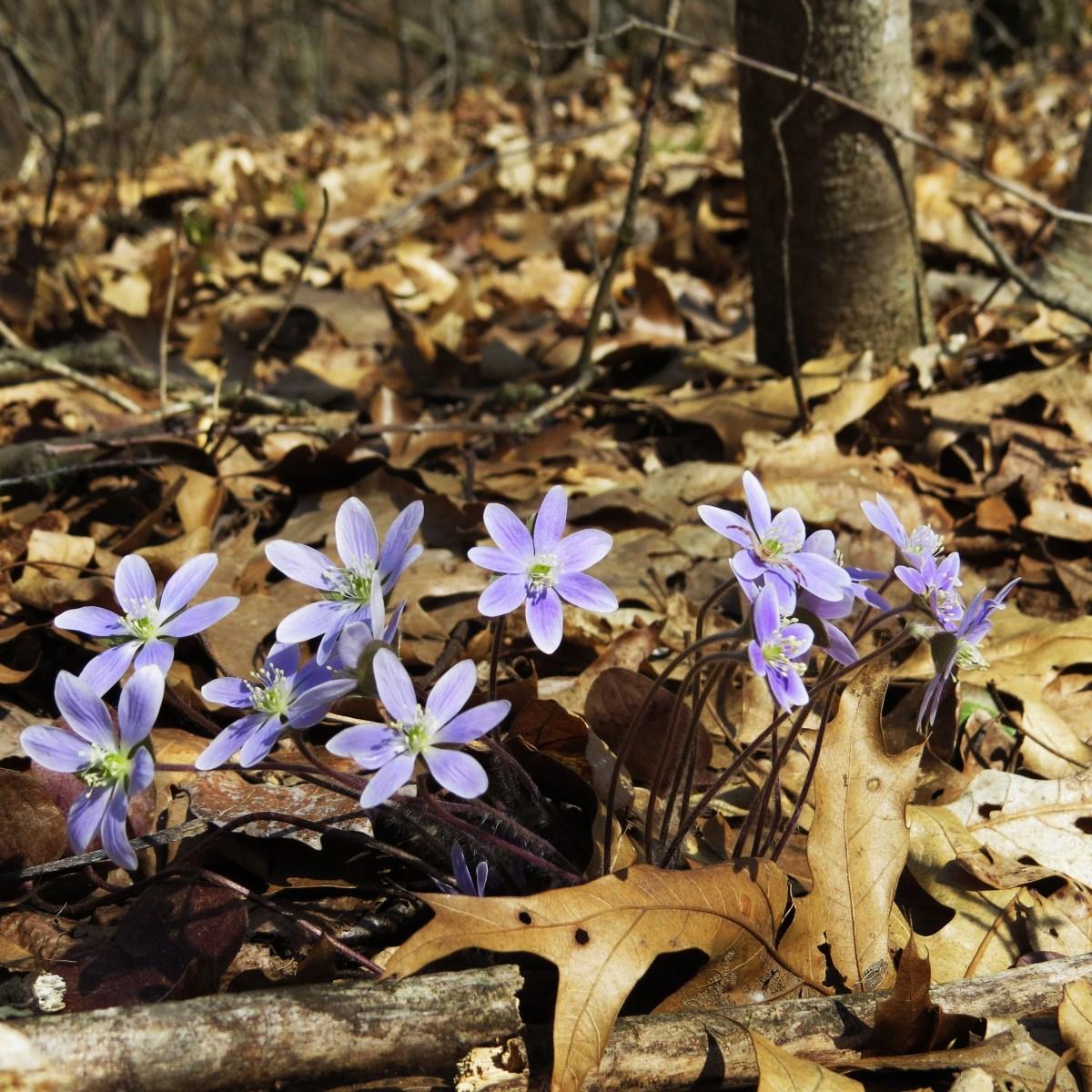 Round-lobed hepatica blooms emerge through dry, fallen leaves