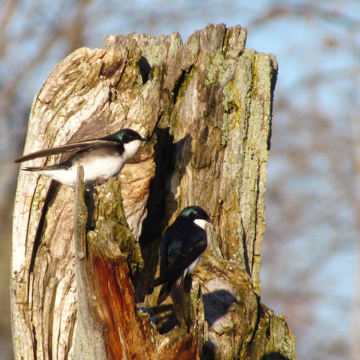 Two Tree Swallows perched on a decaying tree stump