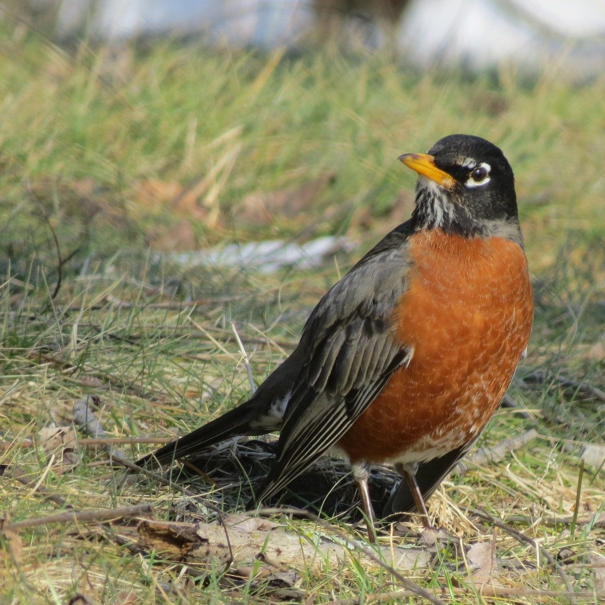 A Robin stands in a grassy area