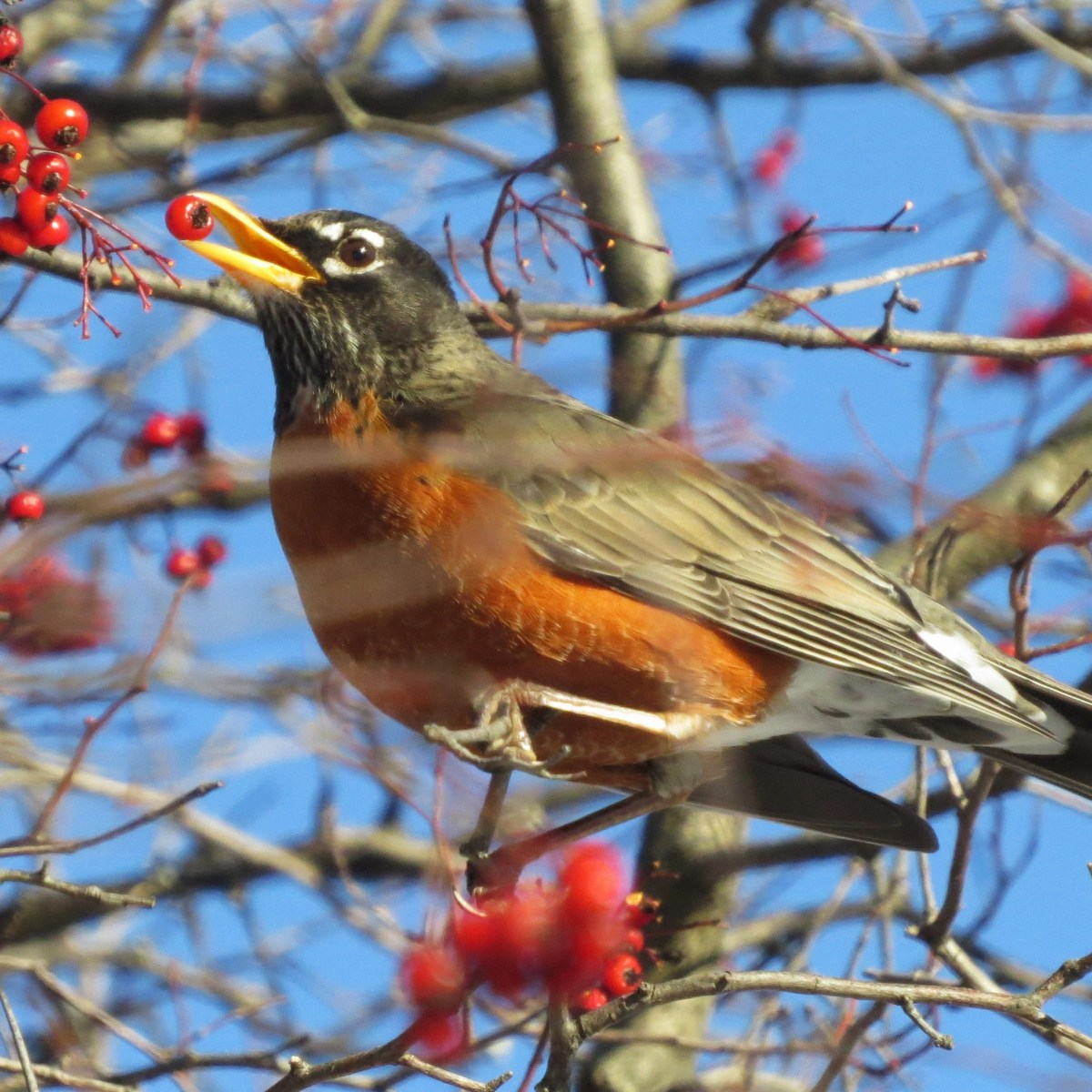 A Robin eats red berries from a tree, it has one berry in its beak