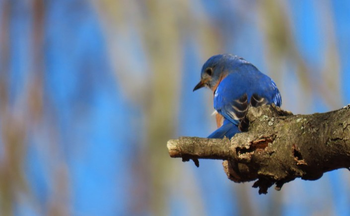 An Eastern Bluebird looks down from his perch on a branch, the background in the image is blurred.