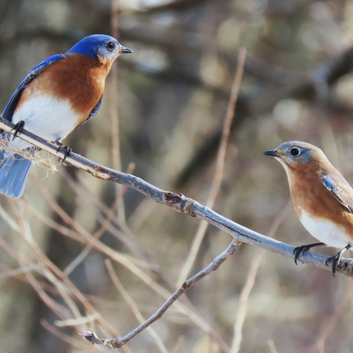 Two Eastern Bluebirds perched on a tree branch on a sunny day