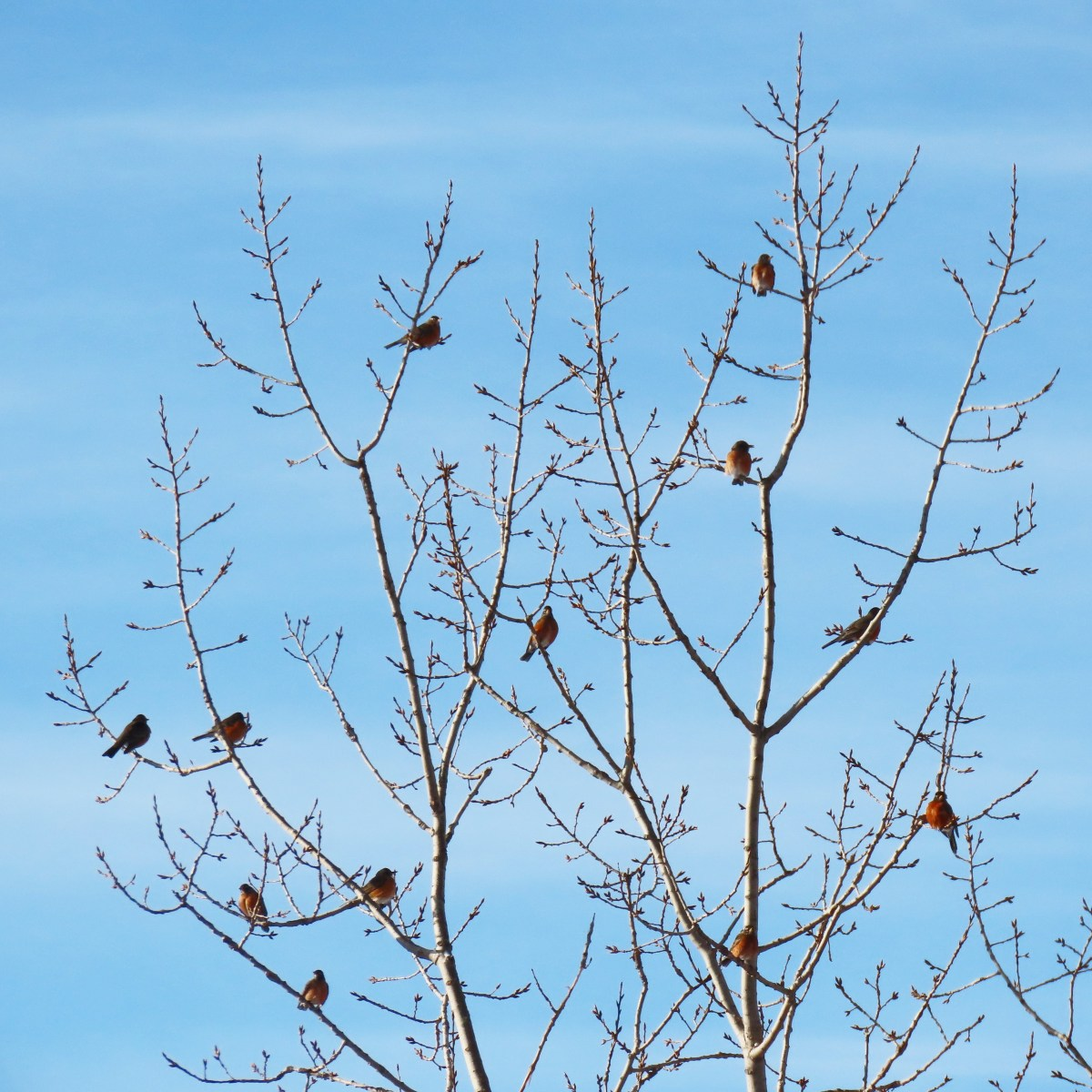 A flock of Robins perched in a tree top with a bright-blue sky