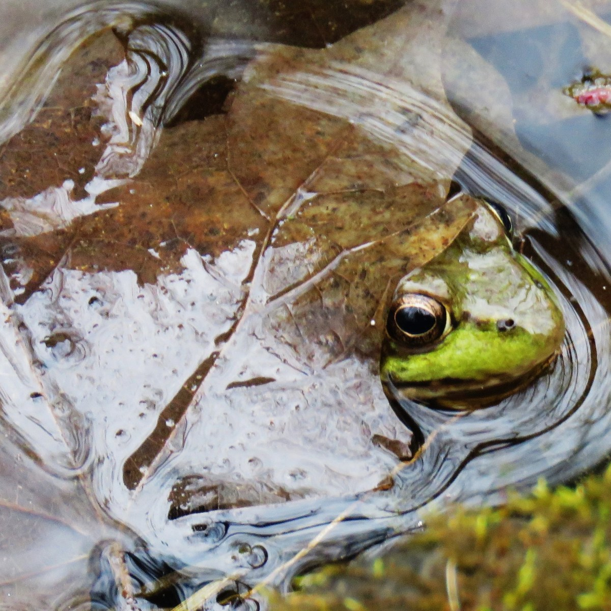 A frog's head peeks out from under a leaf in the water