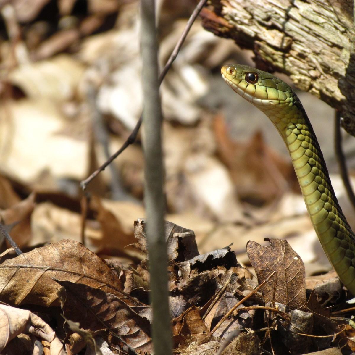 A garter snake rises up over dry leaves