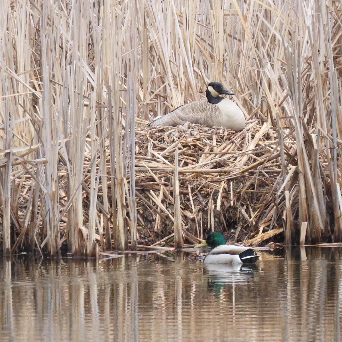 A goose sits on its nest while a mallard duck floats in the water nearby