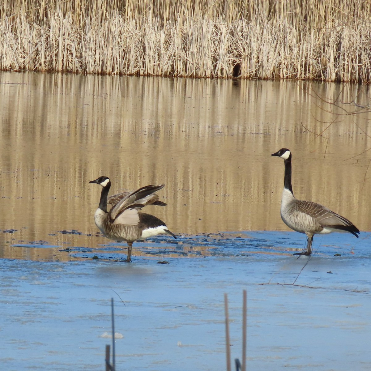 Two Canada Geese stand at the edge of thin ice, one is flapping its wings