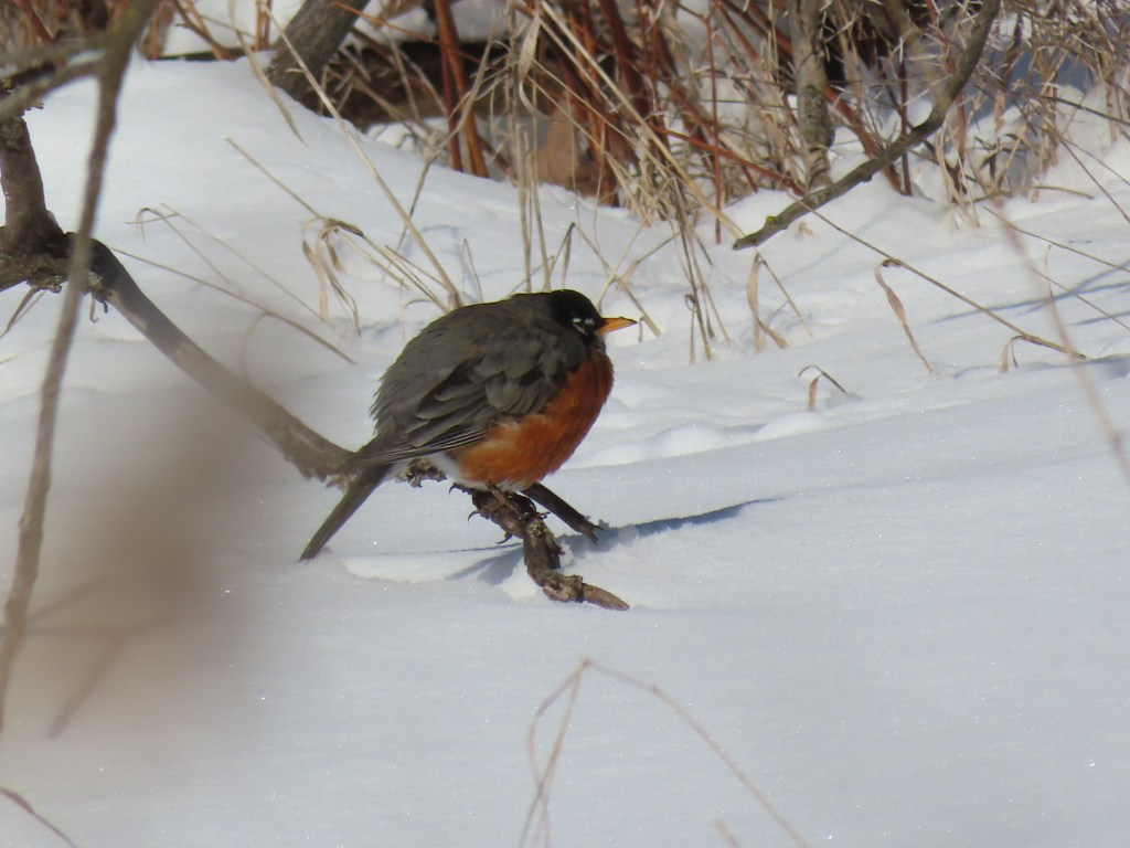 A Robin puffed up on a low branch near the snow
