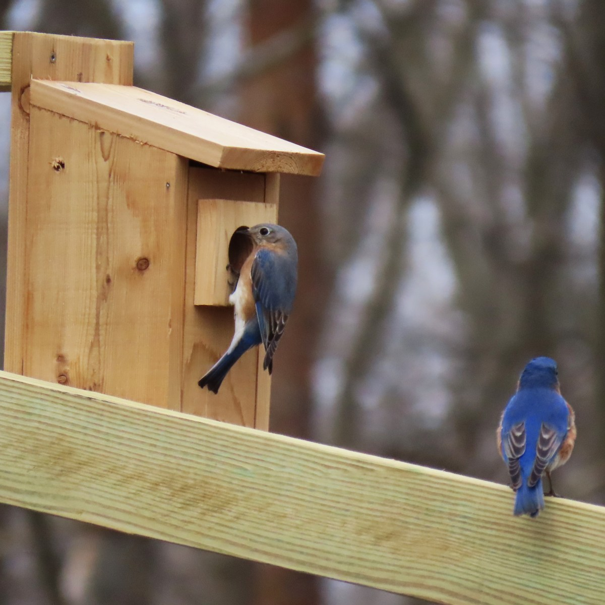 An Eastern Bluebird perched on a nest box while another is perched on a railing nearby