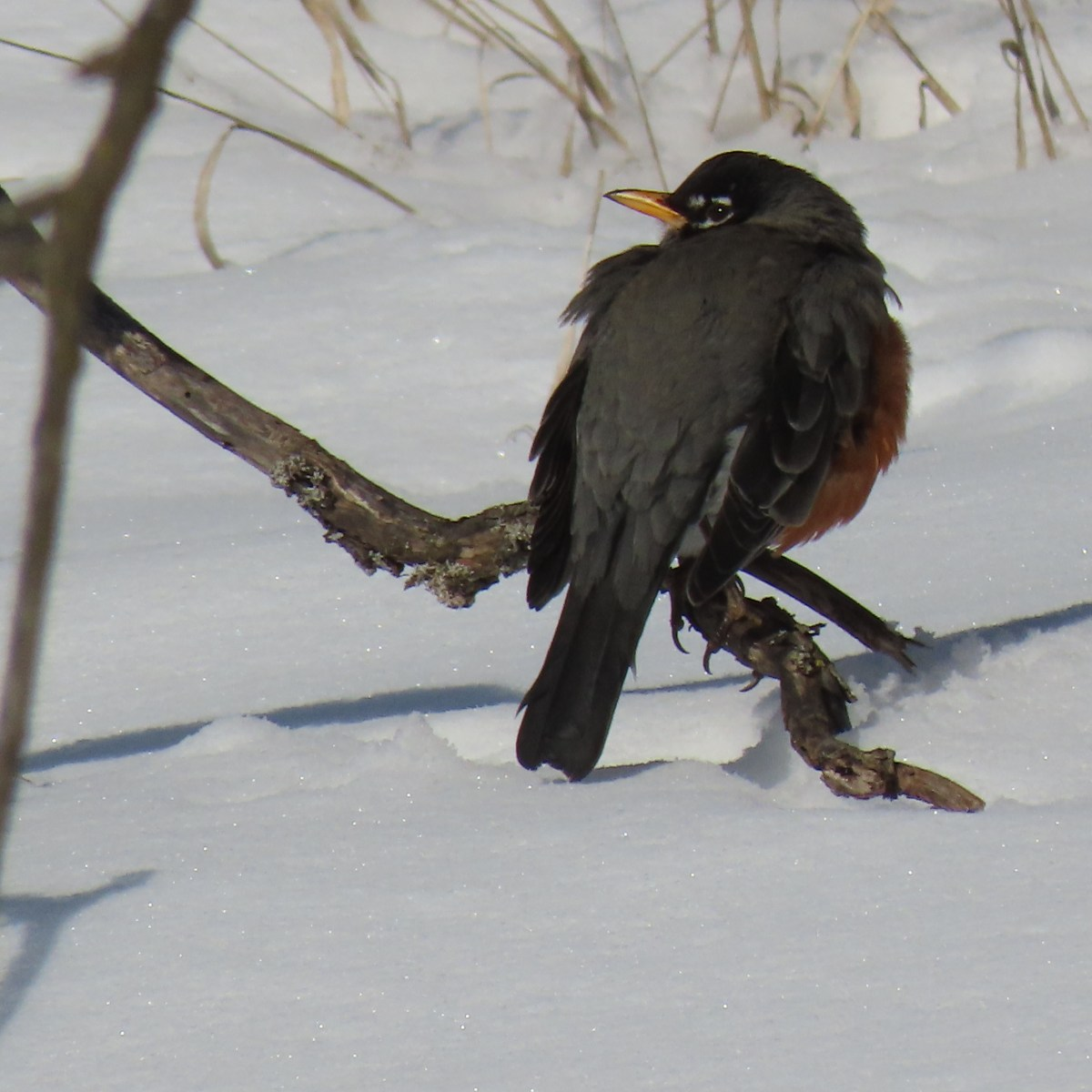 A Robin perched on a low branch just above the snow