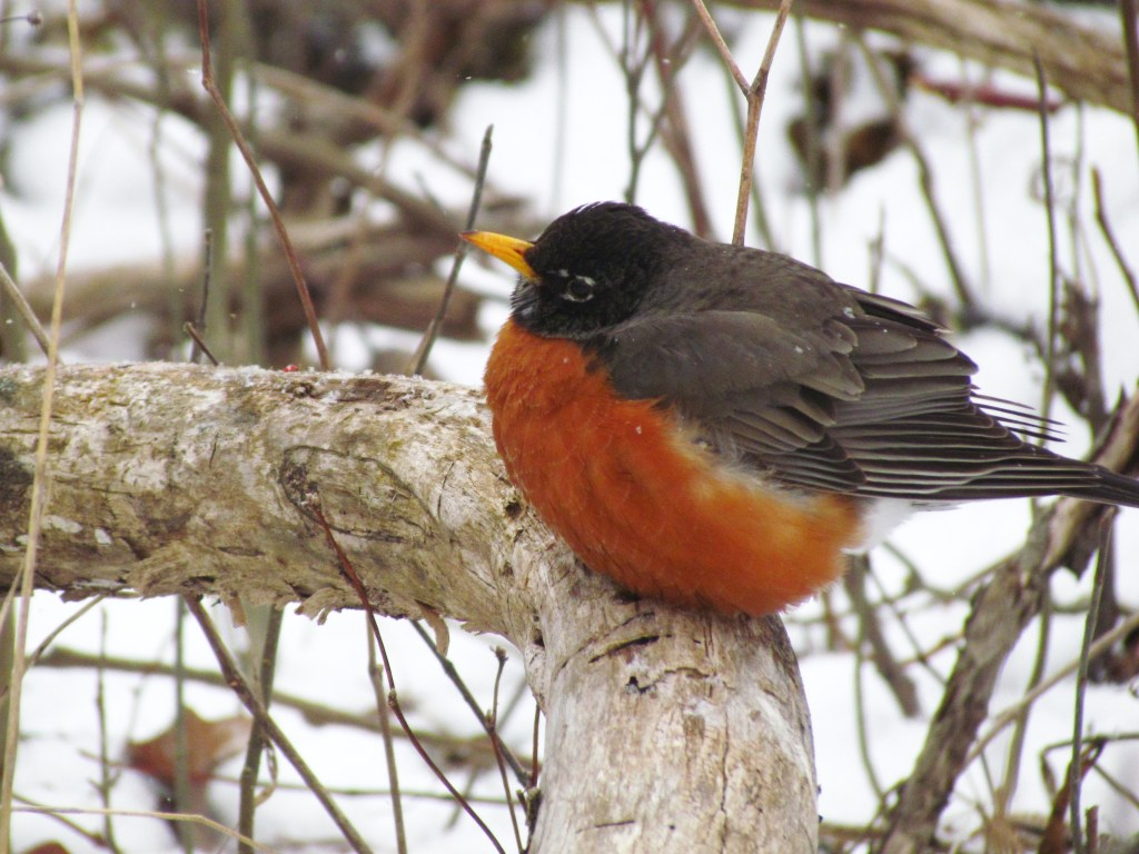 A Robin on a branch in the winter with feathers puffed up