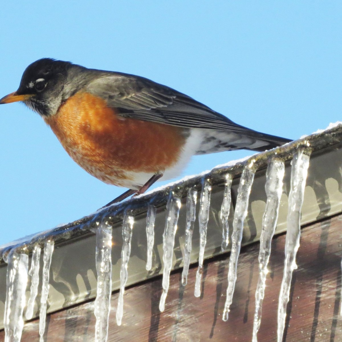 A Robin perched on a roof that has icicles hanging down. The sky in the background is bright-blue.