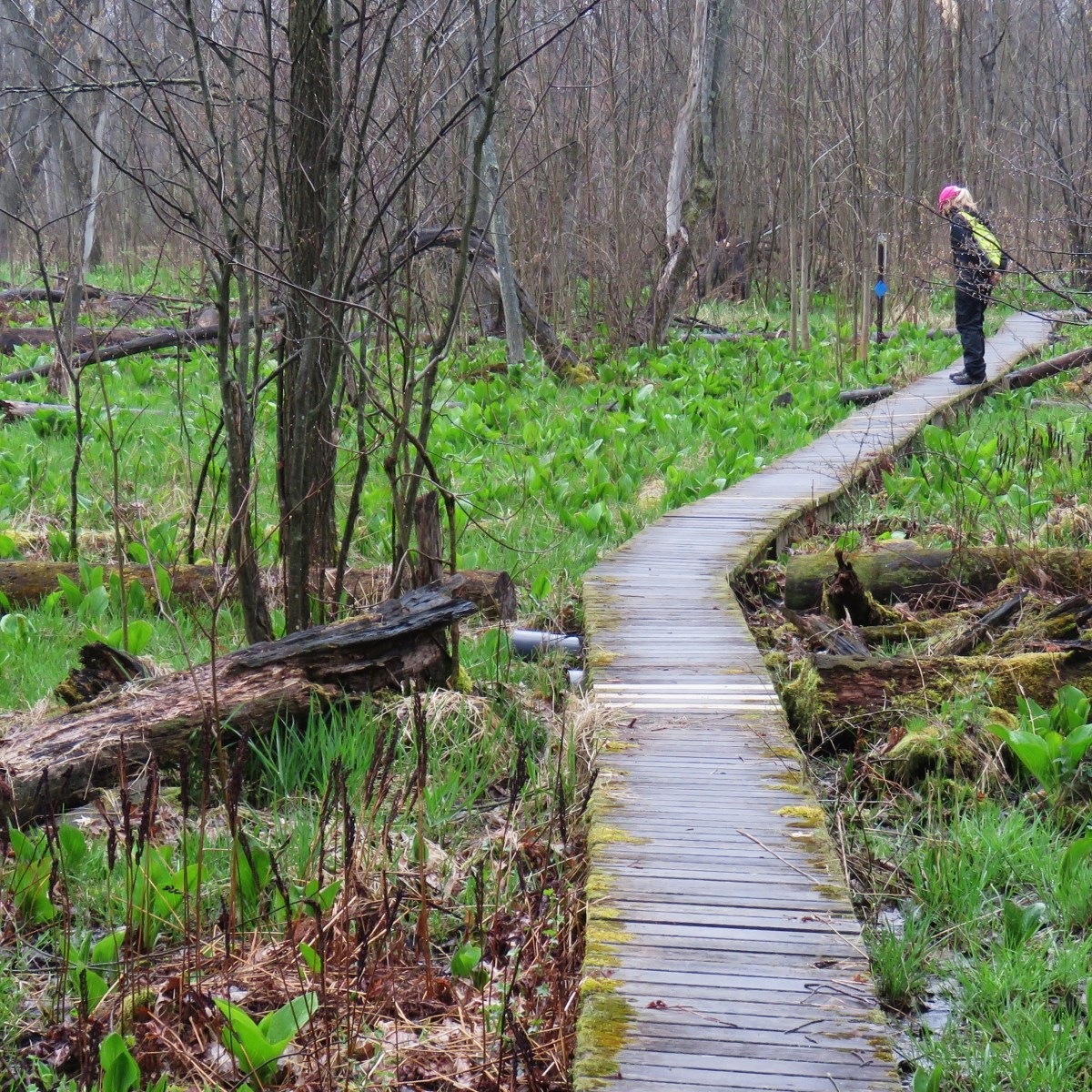 A boardwalk intersects carpets of skunk cabbage in a swamp. A woman stands on the boardwalk in the distance looking down.