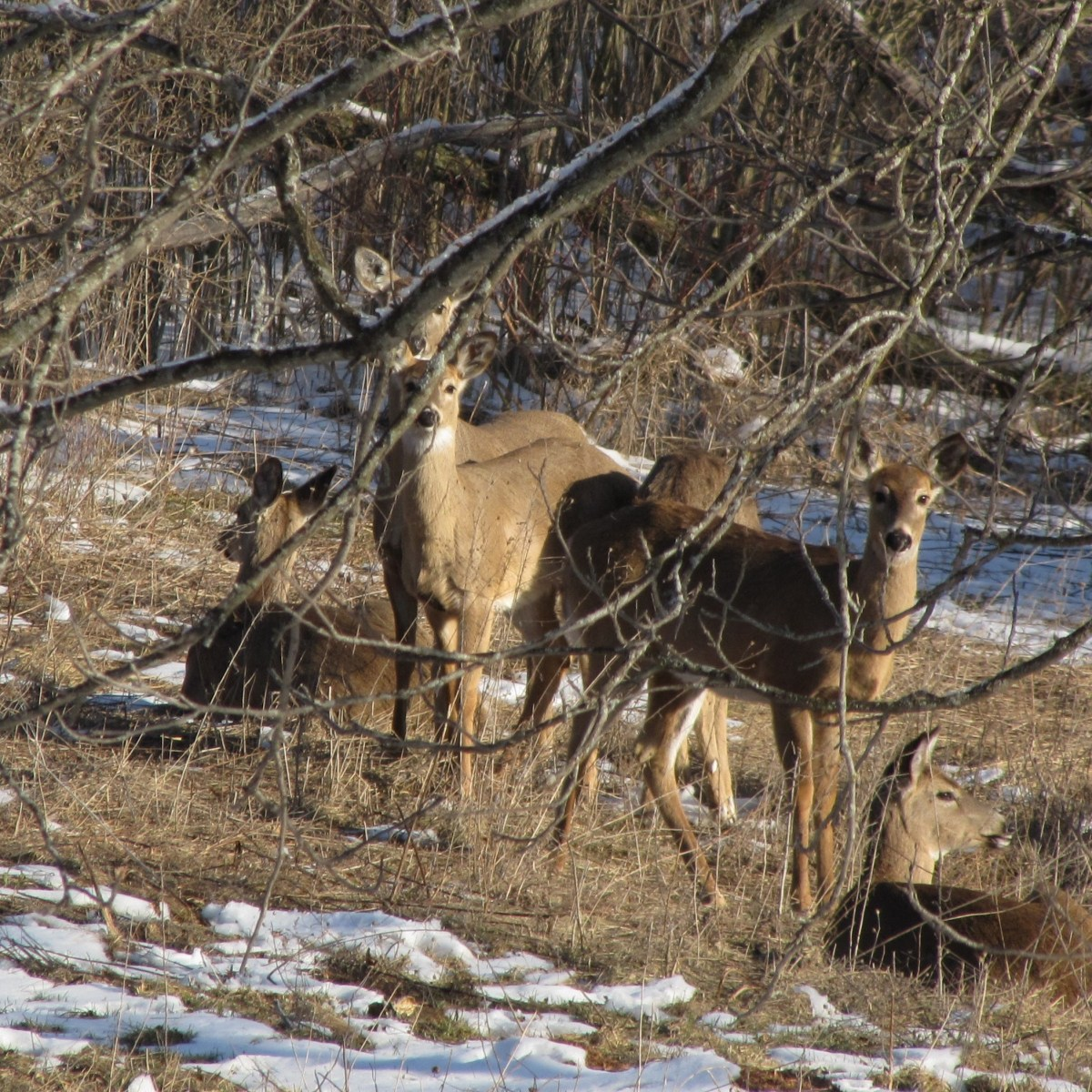 A group of white-tailed deer on a hillside in the sun.