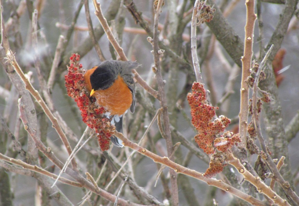 A Robin feasts on a sumac plant in the winter