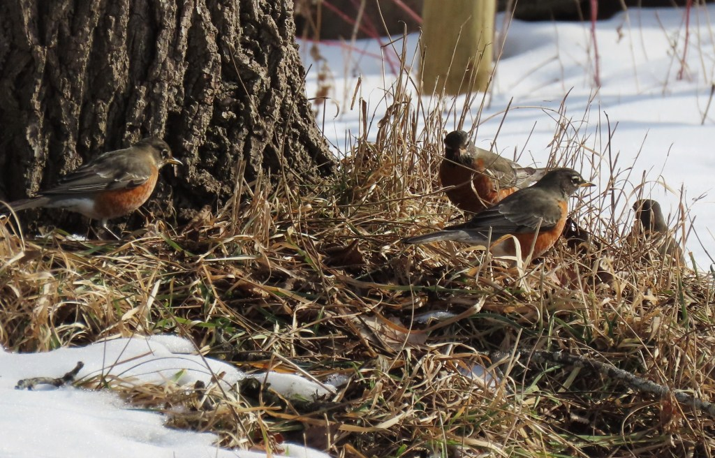 Three Robins hunt for worms near a tree where the snow has melted